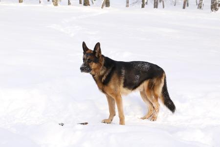 German shepherd dog in snow in winter day
