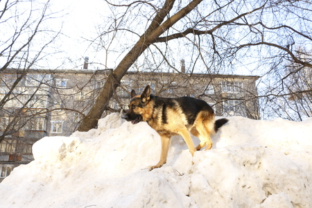German shepherd dog on snow
