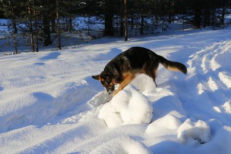 German shepherd dog on the snow