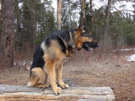 Dog German shepherd sitting on a log