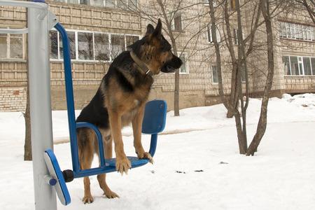 German shepherd dog on exercise equipment in the winter