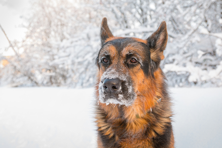 Foto de Dog German Shepherd in a winter day and white snow arround - Imagen libre de derechos