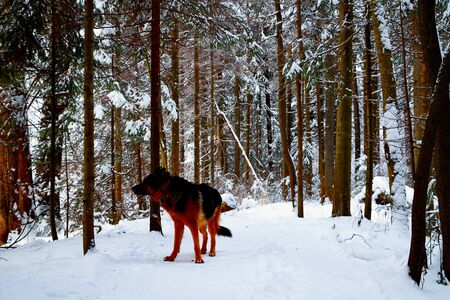 Photo pour Snow covered trees in a winter forest, small path between them and dog german shepherd on it. White landscape in a cold day - image libre de droit