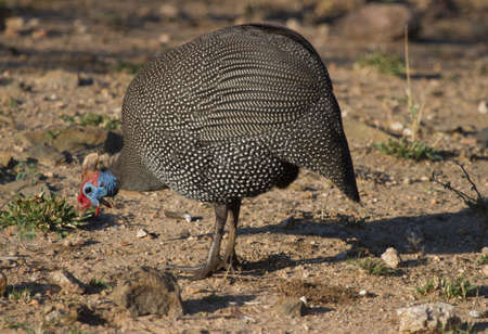 Photo pour Colorful Helmeted Guinea Fowl (Numida meleagris) foraging on the ground in Kruger National Park South Africa with bokeh - image libre de droit