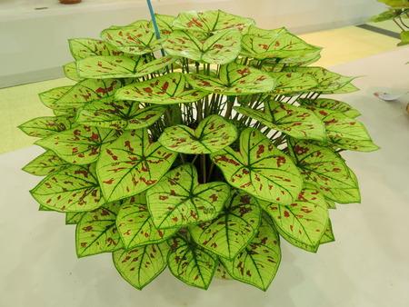 Caladium or Queen of the Leafy Plant.