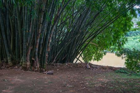 Sri Lanka. Kandy - August 16, 2015. The Royal Botanic Garden. Bamboo.