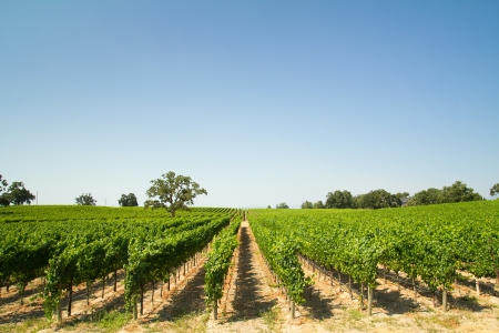 Beautiful vineyard and winery at Sonoma County, California