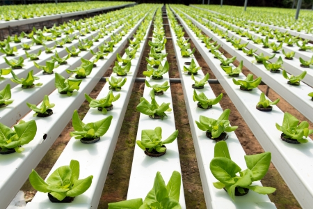 Hydroponic vegetables growing in greenhouse at Cameron Highlands