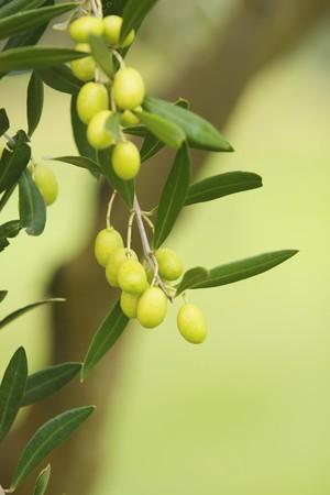 Olive branch on an organic farm garden tree