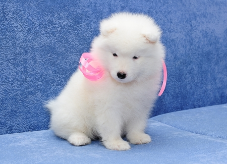 Fluffy white puppy of Samoyed  dog  also known as Bjelkier