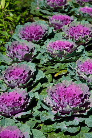 The white Flowering Cabbage and Kale or Ornamental Cabbage and Kale or Brassica oleracea in Thailand