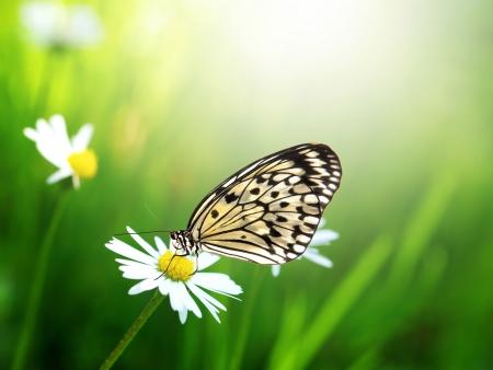 Photo pour Exotic butterfly with daisy flower - image libre de droit