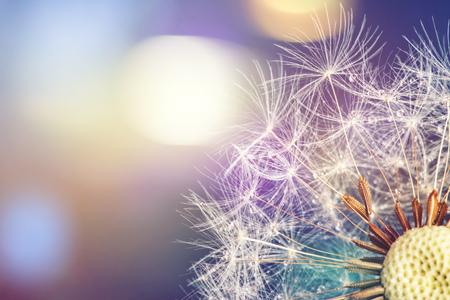 Photo pour Close-up of dandelion seeds on blue natural background - image libre de droit