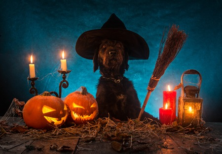 Photo for Black dog with Halloween pumpkins on wooden planks. Cemetery grave stones on background - Royalty Free Image