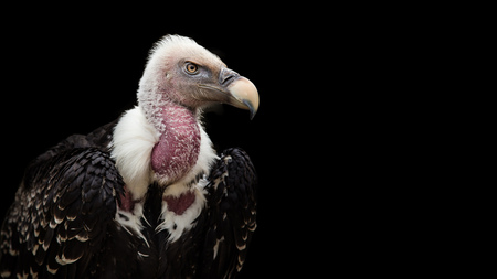 Foto per A Ruppell's Griffon Vulture (Gyps rueppellii), portrait, close-up, isolated on gray background. - Immagine Royalty Free
