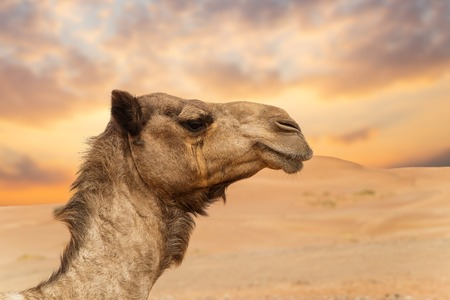 Foto per Middle eastern camels in a desert - Immagine Royalty Free