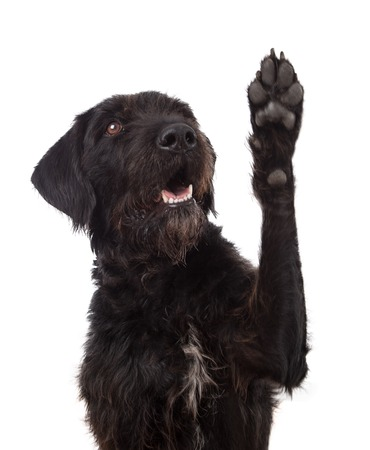 Foto de Black mixed breed dog showing paw isolated on white - Imagen libre de derechos