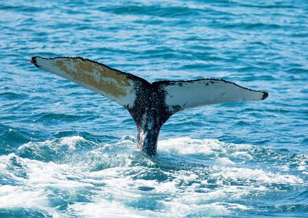 Photo pour huge humpback whale seen from the boat near capital of whales Husavik, Iceland - image libre de droit