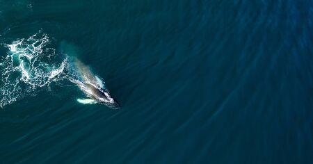 Photo pour Aerial view of huge humpback whale, Iceland - image libre de droit