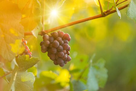 Foto für Bunch of grapes on a vineyard during sunset. - Lizenzfreies Bild