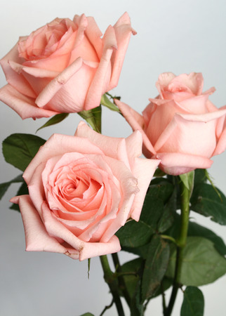 Many pink roses