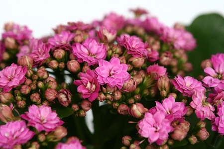 Many pink flowers in the afternoon