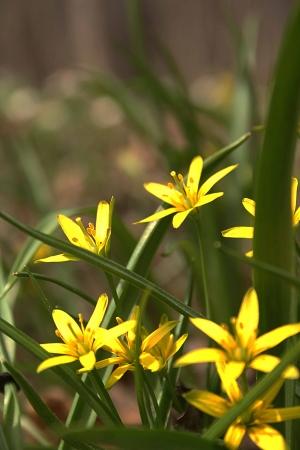 Golden Garlic flowers