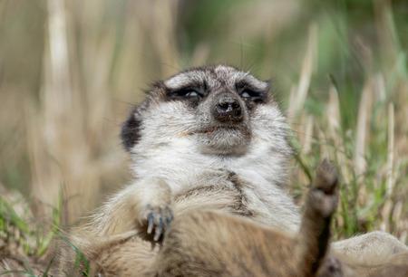 Photo pour close up of a sleeping meerkat - image libre de droit