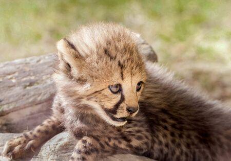 Photo pour Portrait of a cute baby cheetah - image libre de droit