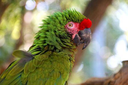 Photo pour Close up of a beautiful green and red Amazon parrot - image libre de droit
