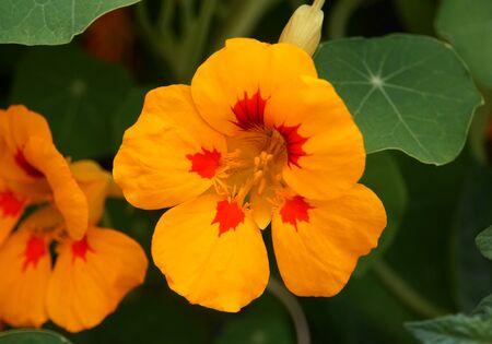 Photo pour Yellow and red color of a nasturtium flower - image libre de droit