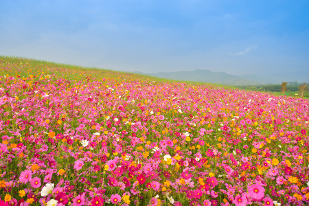 Photo for cosmos flower field - Royalty Free Image