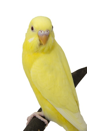 the yellow parrot is on a branch