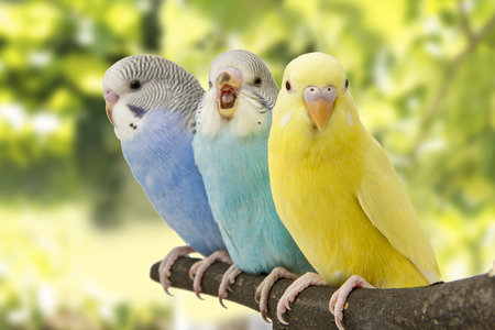 Photo pour three budgies are in the roost - image libre de droit