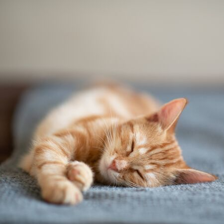 Photo for Cute red kitten with classic marble pattern sleeps on sofa. Adorable little pet. Cute child animal - Royalty Free Image