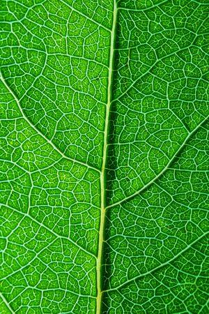 Foto de Texture of a fresh green leaf close-up, macro photo. The concept of ecology, nature, spring, summer. Copyspace. World Environment Day. Abstract natural background. - Imagen libre de derechos