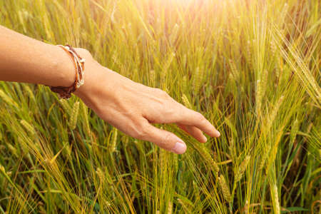 Photo pour Wheat field at sunset. A woman's hand touches the sprouts. The concept of cereals, organic food, agriculture. - image libre de droit