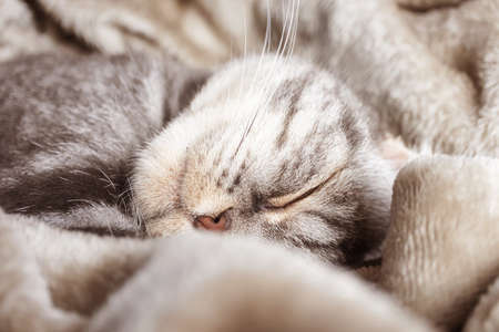 A gray Scottish fold cat sleeps on a blanket. The concept of home comfort, pets, sleep.