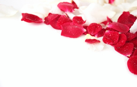 White and red petals of rose  with water drops on a white background.