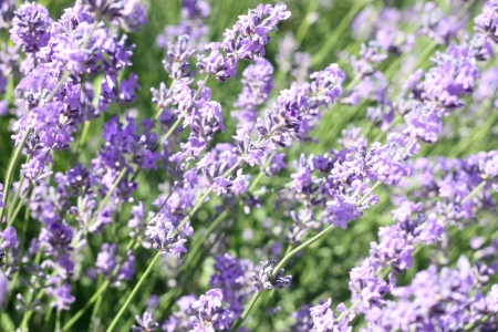 Field of beautiful aromatic lavender flower