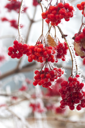 Branch of red ripe ash berries in snow