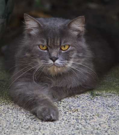 file of close up face of  persia cat