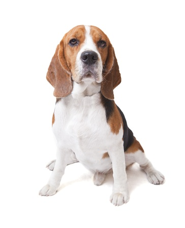 face of beagle dog on white background