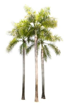 group of palm tree plant isolated on white use for multipurpose