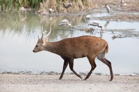 deer walkining in field