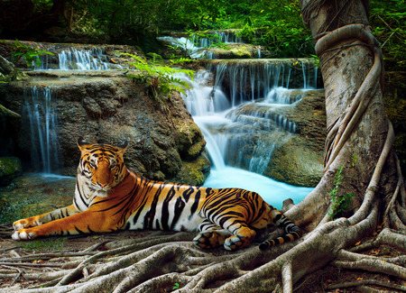 Foto de indochina tiger lying with relaxing under banyantree against beautiful pure nature limestone waterfalls use as green natural background ,backdrop - Imagen libre de derechos