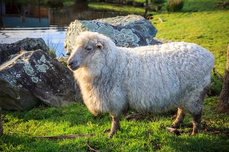 Photo pour close up new zealand merino sheep in rural livestock farm - image libre de droit