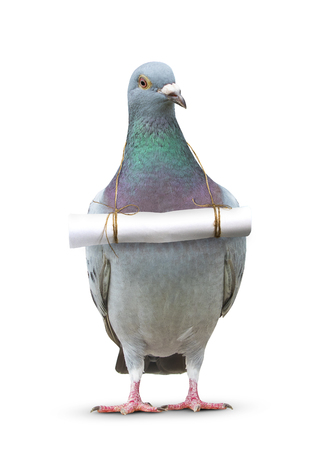 Photo pour full body of pigeon bird and paper letter message hanging on breast for communication theme - image libre de droit