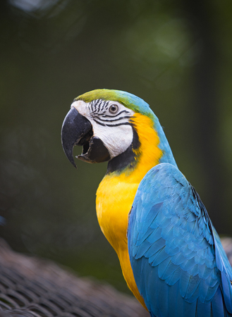 close up face of colorful blue gold macaw bird on green blur background