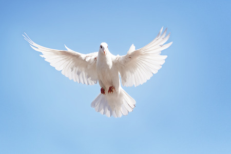 Photo for full body of white feather pigeon flying against clear blue sky - Royalty Free Image